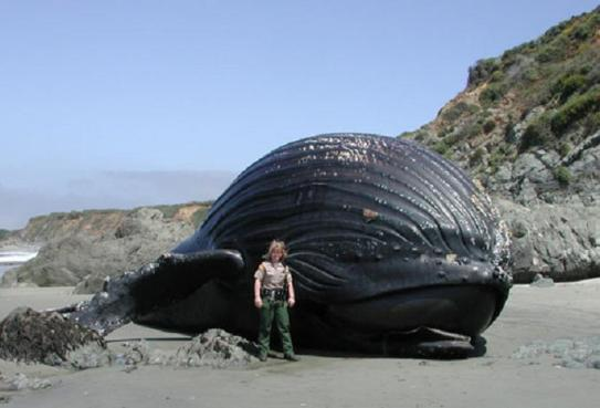 beached humpback whale The Largest Animal Ever