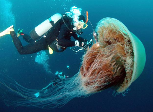 giant jellyfish 10 Amazing Facts about Jellyfish