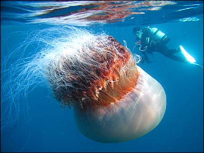 huge jellyfish 10 Amazing Facts about Jellyfish