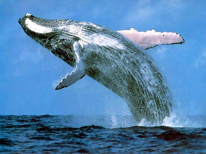 humpback whale breaching How Do Humpback Whales Hunt?