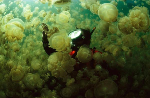jellyifsh swarm swimmer 10 Amazing Facts about Jellyfish