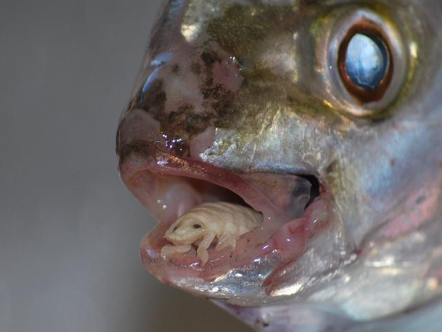 A Tongue Eating Parasite That Becomes The Fish's Tongue