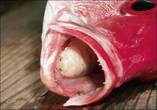 A tongue eating parasite that becomes the fish s tongue for Parasite that eats fish tongue