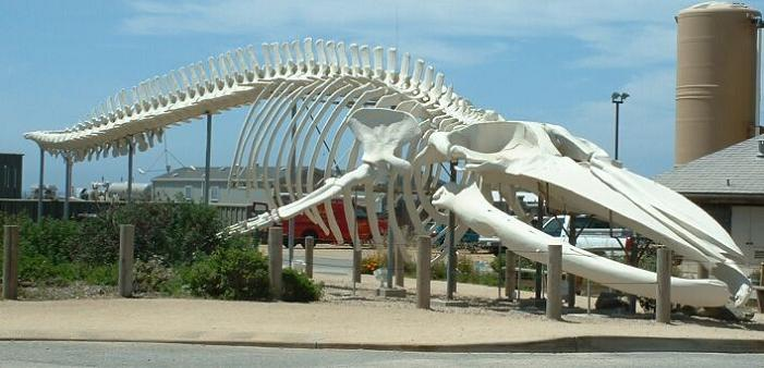 blue whale skeleton The Largest Animal Ever