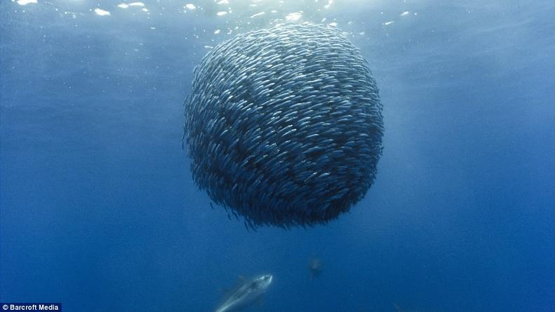 ball of fish horse mackerel Picture of the Day   December 6, 2009