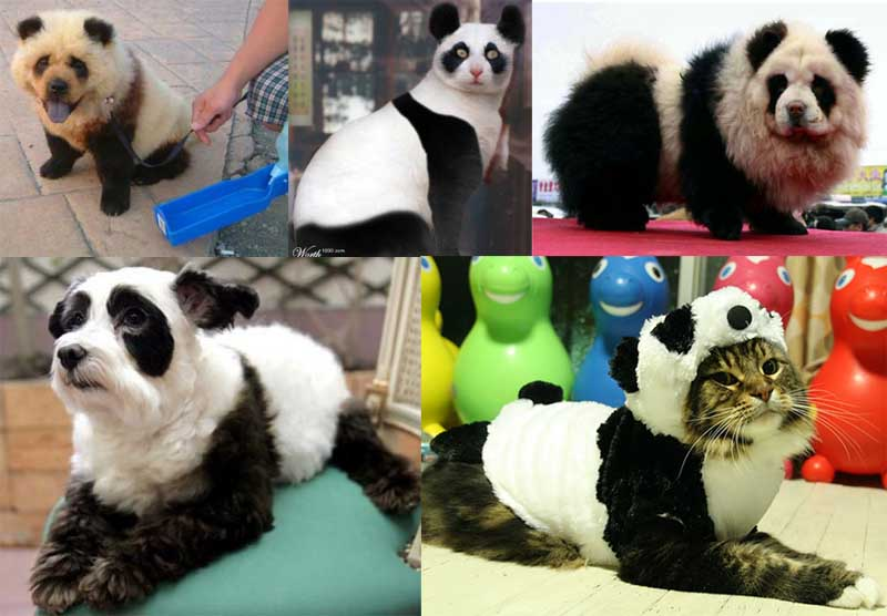 animals that look like pandas 11 Reasons why the Bronze goes to... Pandas!