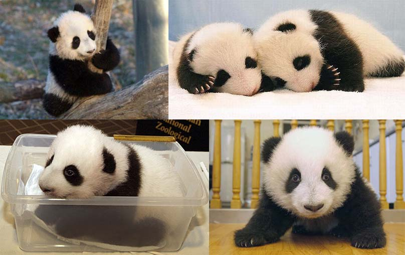 cute baby pandas 11 Reasons why the Bronze goes to... Pandas!