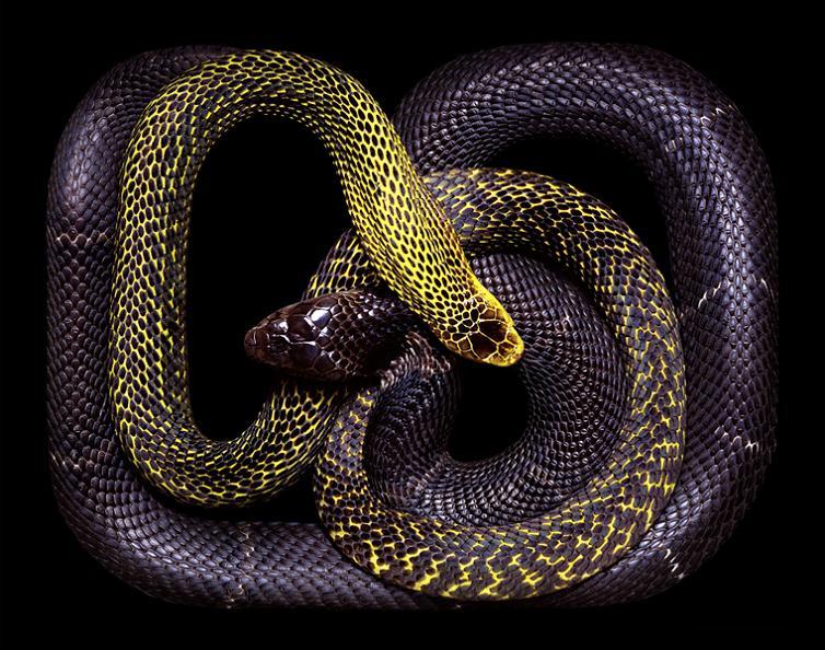 dark purple snake art guido mocafico Slithery Snake Art