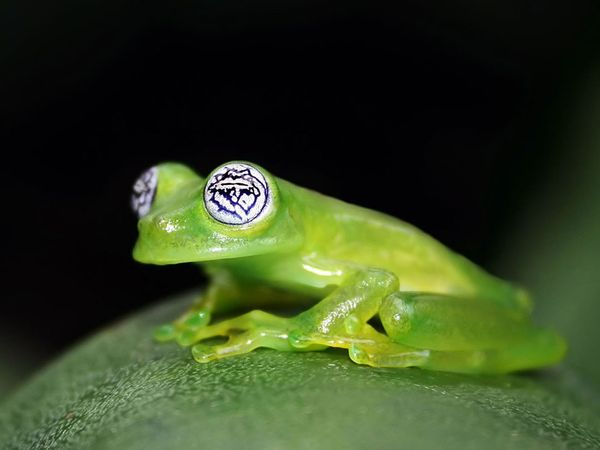 glass frog hypnotoad Picture of the Day   February 3, 2010