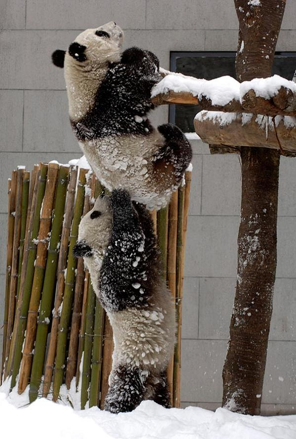 pandas-helping-each-other-up