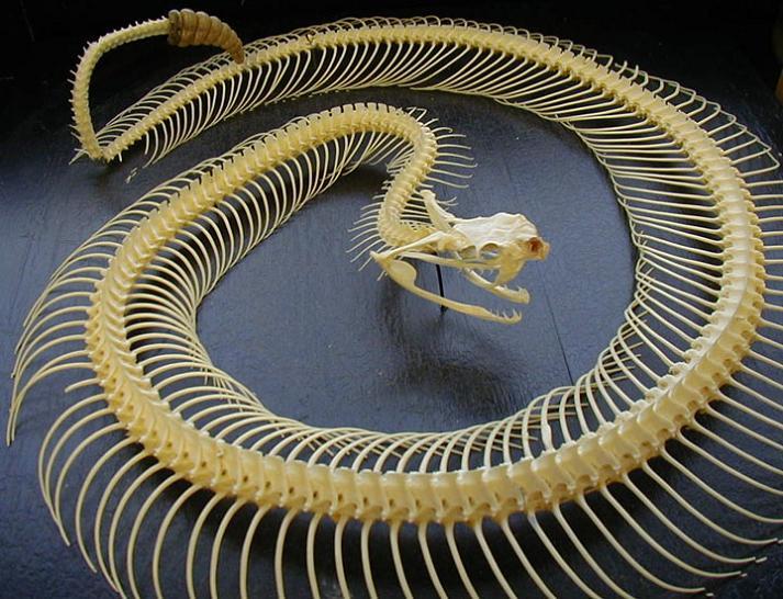 rattlesnake skeleton Slithery Snake Art