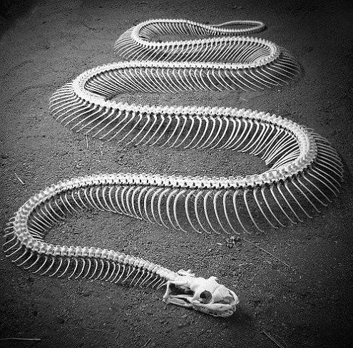 skeleton of a snake Slithery Snake Art