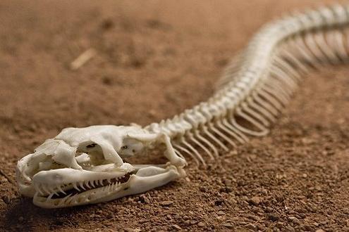 snake skeleton closeup Slithery Snake Art