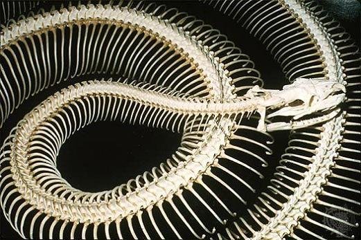 snake skeletons Slithery Snake Art