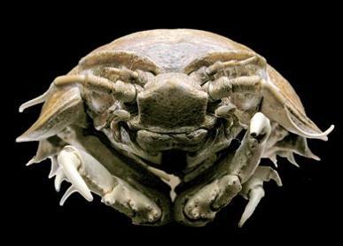 disgusting animal The Giant Isopod