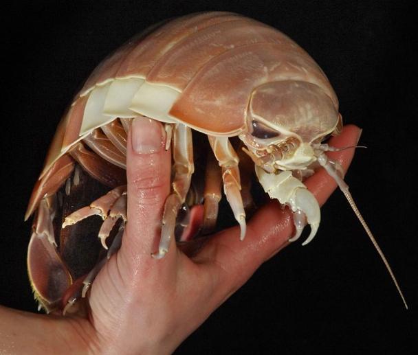 giant isopod bathynomus giganteus The Giant Isopod