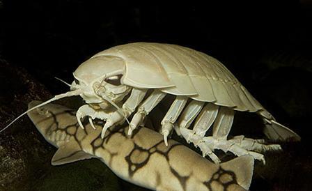 giant isopod deep sea creature The Giant Isopod