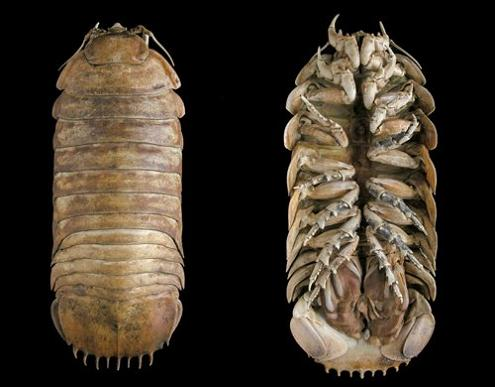 super sized wood lice potato bug The Giant Isopod