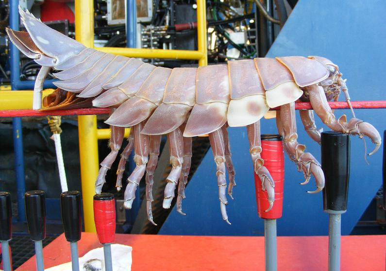 the giant isopod is gross The Giant Isopod