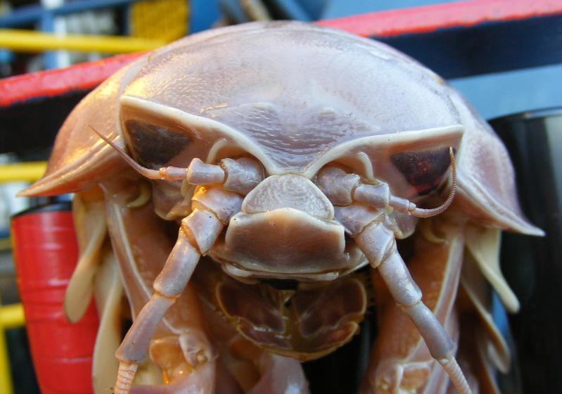 the nastiest creature giant isopod The Giant Isopod