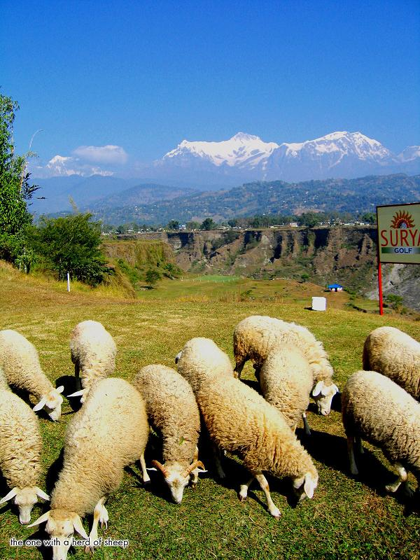 animals sheep on the golf course The Most Exotic Golf Course in the World