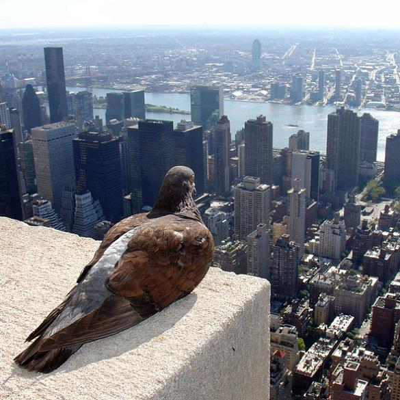 pigeon on top of empire state building looking at new york city Picture of the Day   May 19, 2010