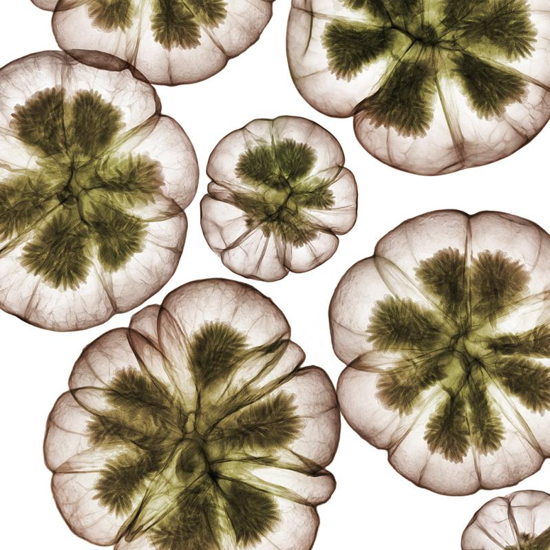 x ray of flowers nick veasey The X Ray Vision of Nick Veasey