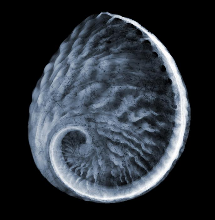 x ray of pear shell The X Ray Vision of Nick Veasey