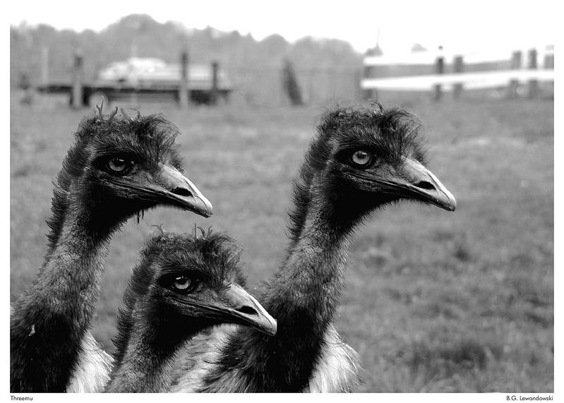 mob group of emus 10 Bizarre Names for a Group of Animals