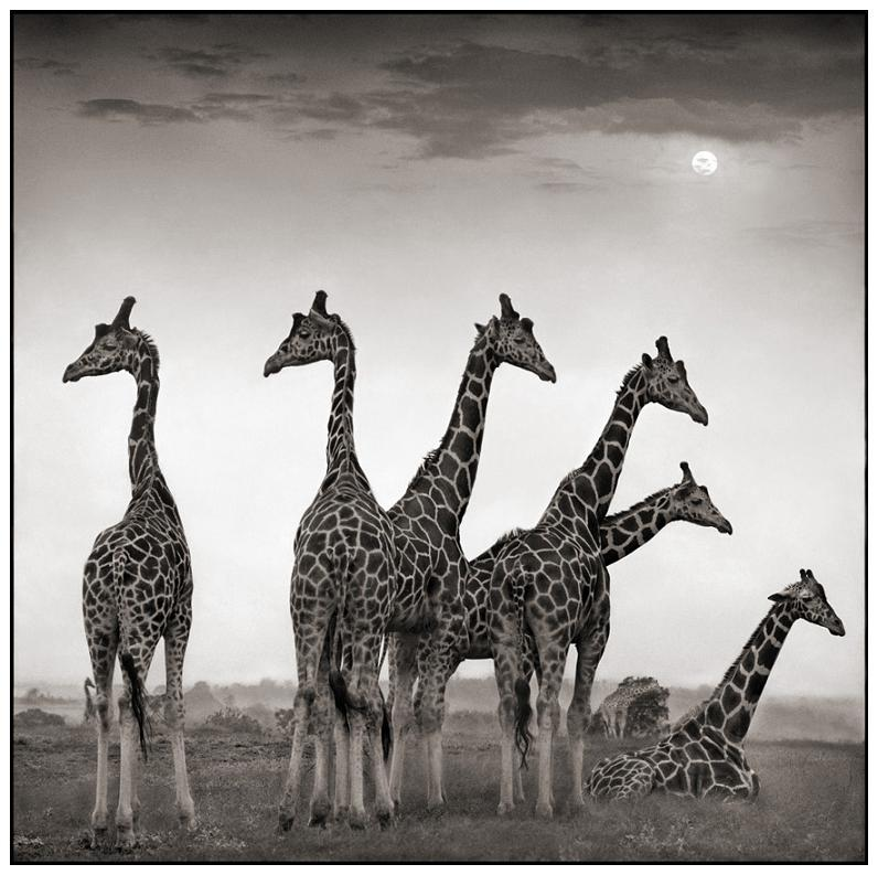 tower group of giraffes 10 Bizarre Names for a Group of Animals
