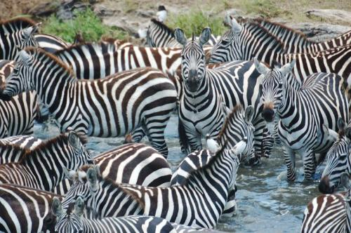 zeal-group-of-zebras