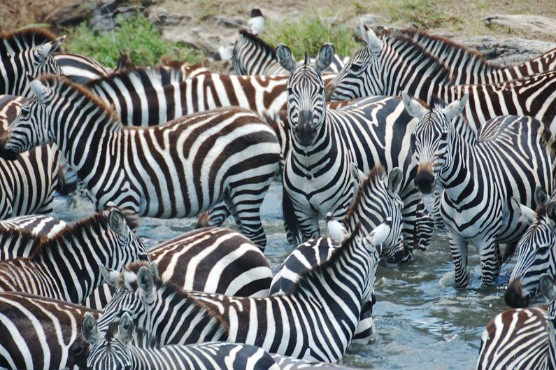 zeal group of zebras 10 Bizarre Names for a Group of Animals