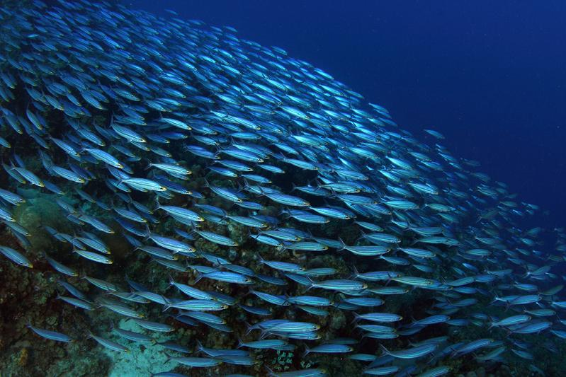 fish shoaling swimming together 15 Fascinating Schools of Fish