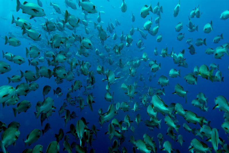 fish shoaling 15 Fascinating Schools of Fish