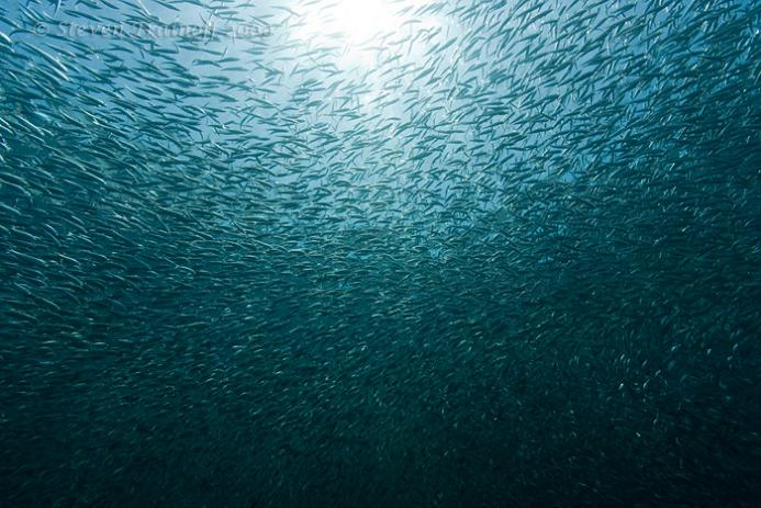 massive group of sardines 15 Fascinating Schools of Fish