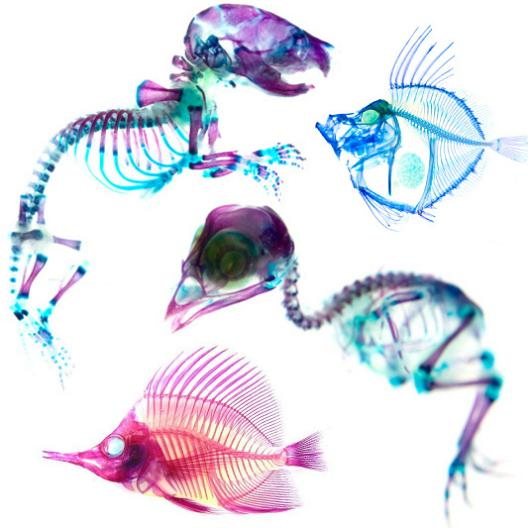 see through animals with colorful skeletons 21 Specimens with Transparent Skin and Rainbow Skeletons