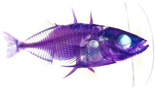 transparent fish with rainbow colored skeleton 21 Specimens with Transparent Skin and Rainbow Skeletons