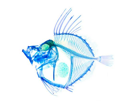 transparent fish with rainbow skeleton 21 Specimens with Transparent Skin and Rainbow Skeletons