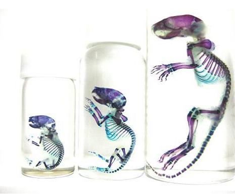 transparent specimen with colored skeletons 21 Specimens with Transparent Skin and Rainbow Skeletons