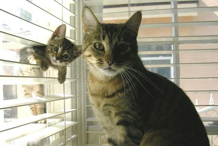 baby-cat-in-window-blinds-posing-with-mom