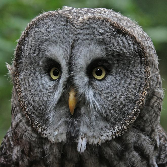 owl closeup 10 Awesome Facts About Owls [15 pics]