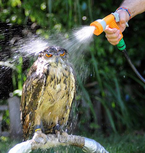 owl-getting-sprayed-with-hose-water