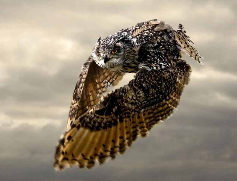 owl in flight 10 Awesome Facts About Owls [15 pics]