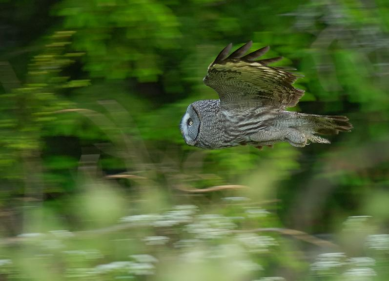 owl in mid flight 10 Awesome Facts About Owls [15 pics]