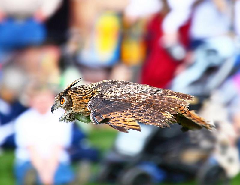 owl soaring through air 10 Awesome Facts About Owls [15 pics]