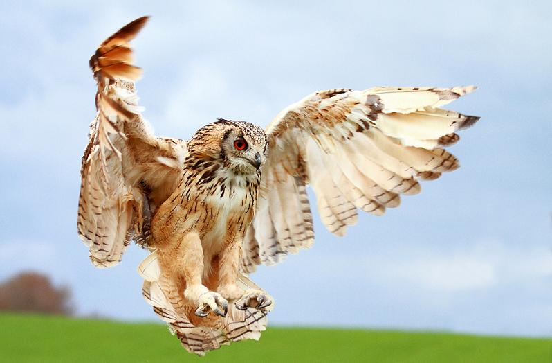 owl wings spread 10 Awesome Facts About Owls [15 pics]