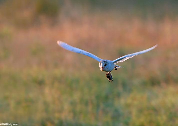 owl-with-prey1
