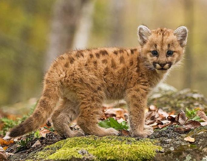 baby cougar puma panther catamount 10 Things You Didnt Know About Cougars [15 pics]