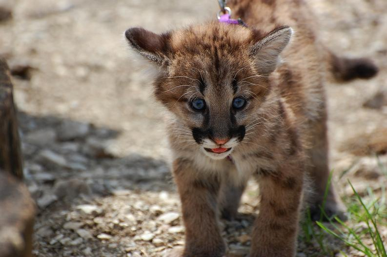 baby panther puma cougar 10 Things You Didnt Know About Cougars [15 pics]