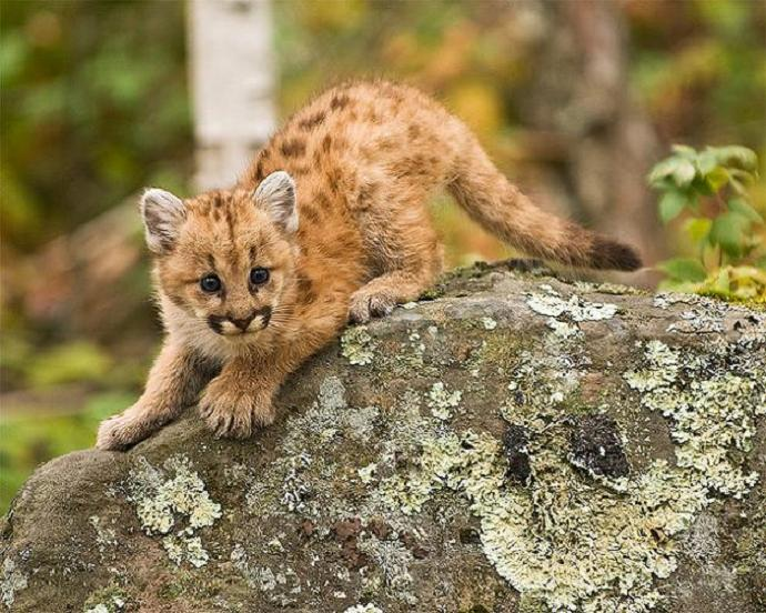 baby puma panther cougar 10 Things You Didnt Know About Cougars [15 pics]